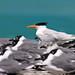 Royal Tern Sterna Maxima