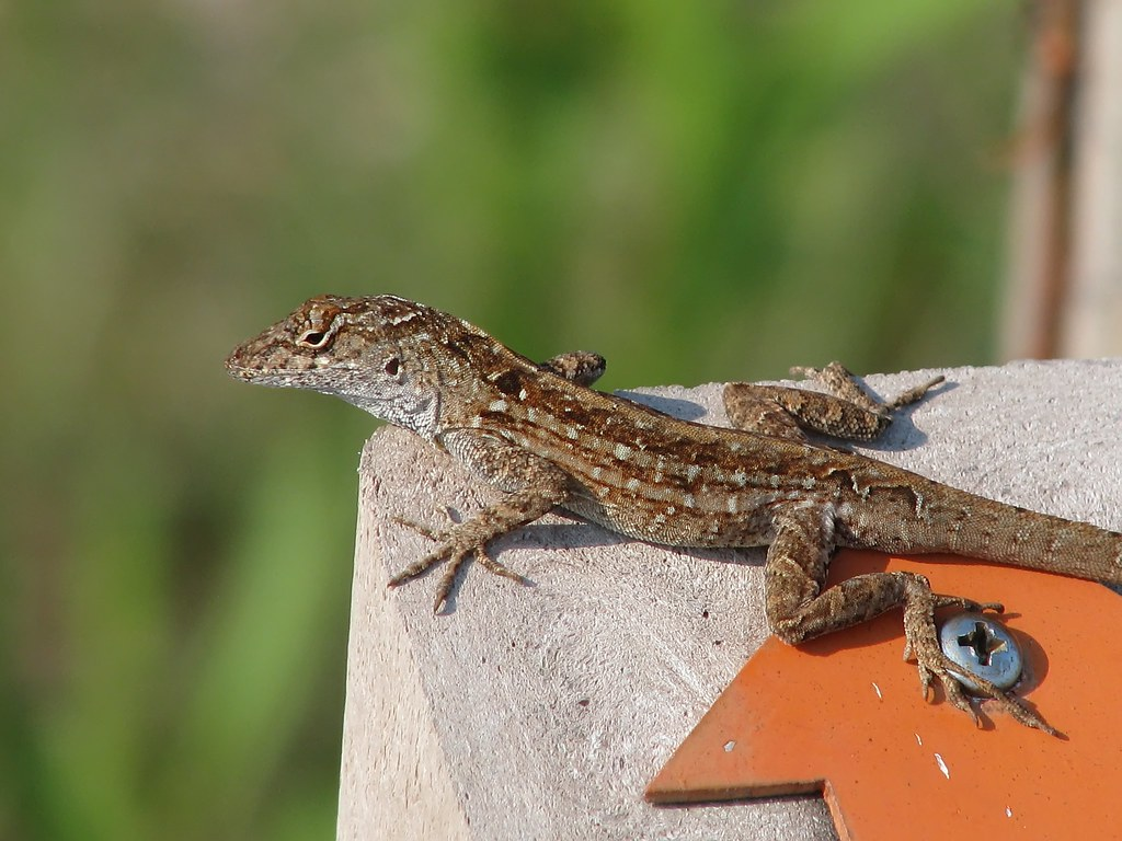 few_Cuban brown anole | Sanibel Island, Florida These lizards di… | Flickr
