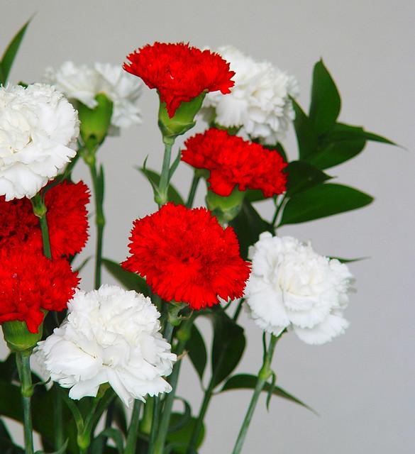 flores de claveles blancos y rojos estos esquejes de