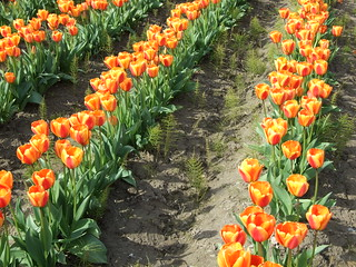 Tulip rows and between | by boglam
