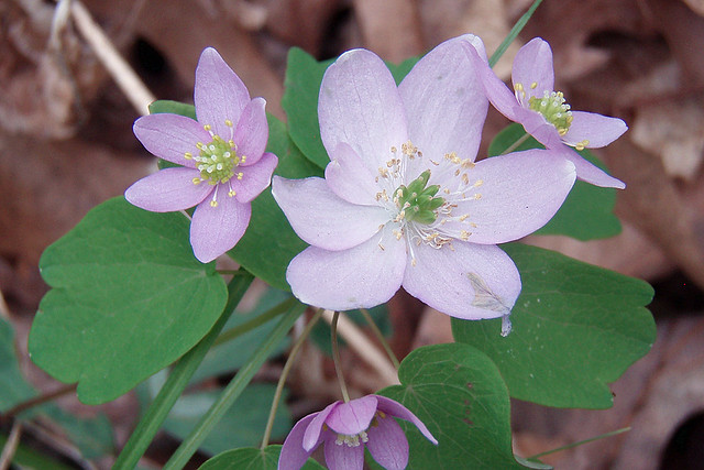 closeup of four pinkish flowers, one with seven petals, two with six, and one with five