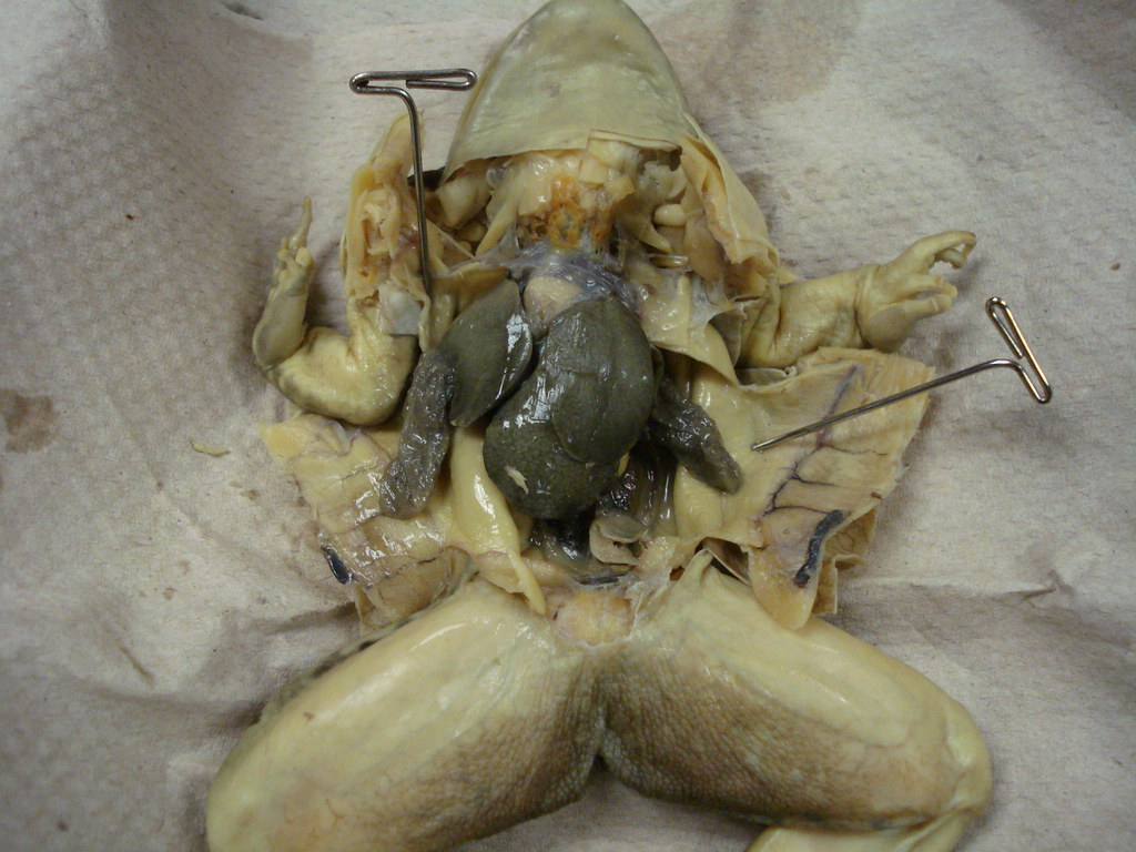 Frog Dissection, Showing Liver and Lungs | This frog was dis… | Flickr