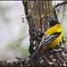 Audubon's Oriole  IMG_5084edt