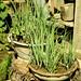 Herb Garden Laos
