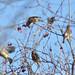Cedar Waxwings #3