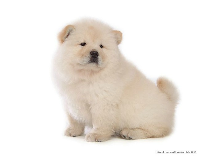Puppys And Dogs That Look Like Bears