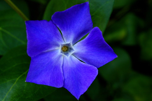 how to get rid of morning glory