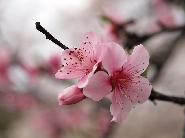 Cherry blossom I | Cherry blossom season in Japan is a ...