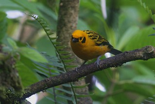 Golden tanager | by Brad Wier