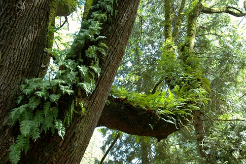The living forest tree, ferns growing on a tree, Seward Park, Seattle, Washington, USA | by Wonderlane