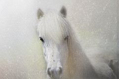 White Icelandic Horse | by Isabelle Ann