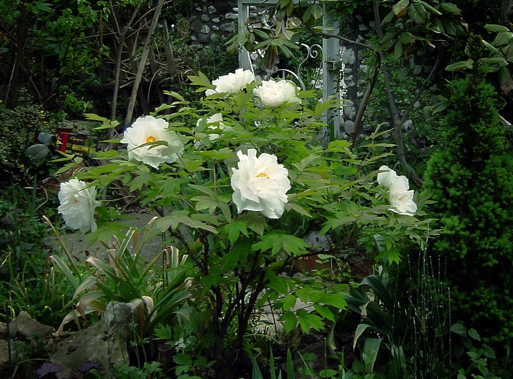 paeonia suffruticosa white tree peony white tree peony flickr. Black Bedroom Furniture Sets. Home Design Ideas