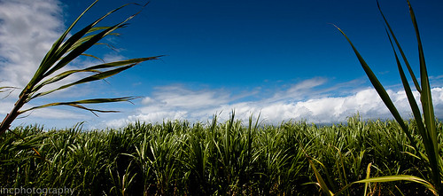 Sugar Cane Plantation Maui | by elakerfan
