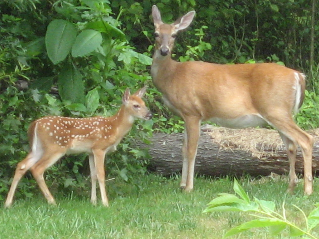 mother deer and baby deer 010 | snow678 | Flickr