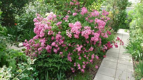 Mon jardin printemps 2010 rosier arbustif 39 mozart 39 1 for Mon jardin 3d