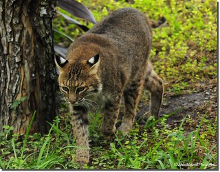 The Bobcat | by ShacklefordPhotoArt
