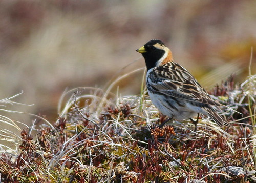 Lapland Longspur | by andysj531