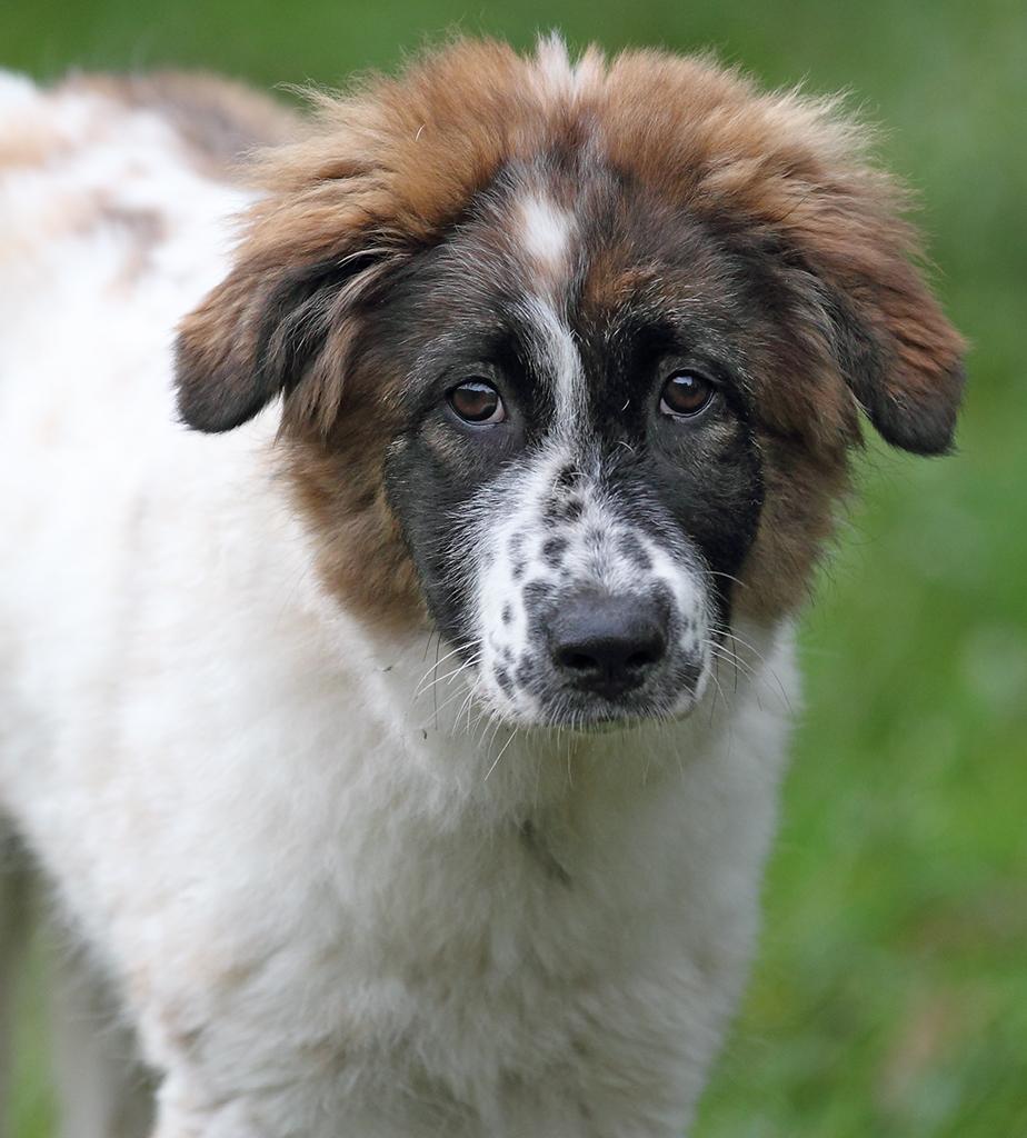 Guardian Dog Breeds For Livestock