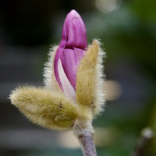 small Magnolia flower bursting from its bud | by julesberry2001