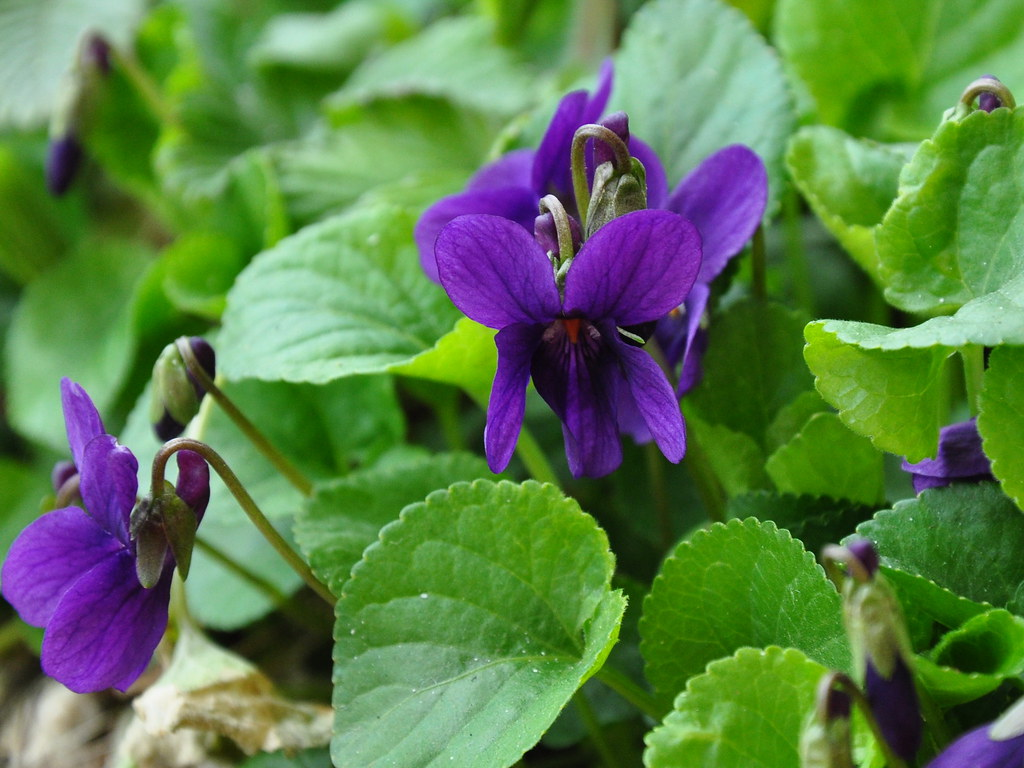The March Violets Electric Shades