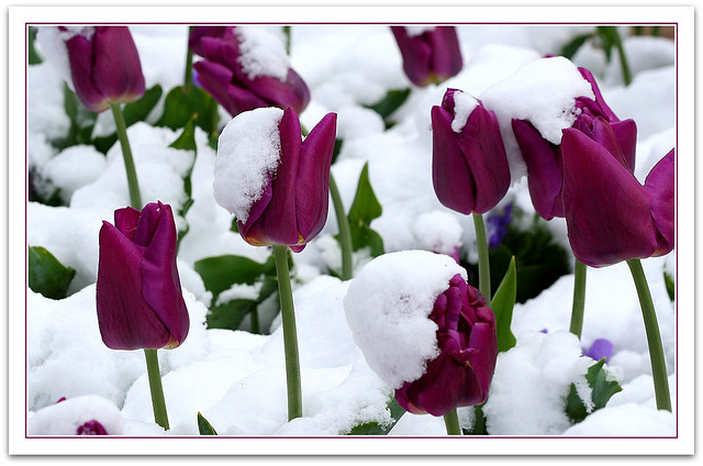 tulips in the snow tulips in the snow on the first day
