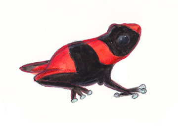 """Terms Of Use >> Red Banded (Lehmann's) Poison Dart Frog 