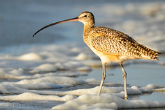 Curlew at Morro Bay | by Pat Ulrich
