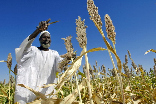 Farmer Harvests Sorghum Seeds in Sudan | by United Nations Photo