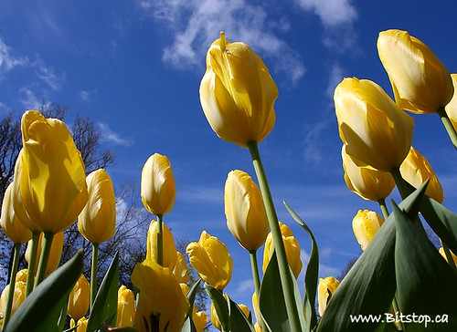 Yellow Tulips, Blue Sky | by Karen_Chappell