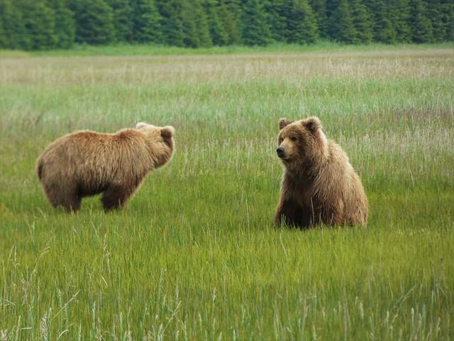 Pareja de osos en la hierba (Lake Clark National Park, Alaska)