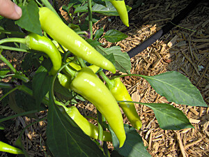 banana pepper bush | by Tee Riddle