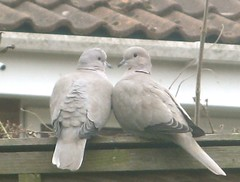 doves | by cathy cullis