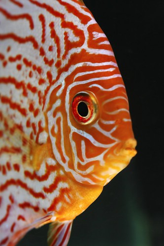 Fish, staring at the camera and having an eye phenotype that mirrors the post author's. The eyes of the fish are normal for that species, but in a human they would seem itchy and quite irritated!