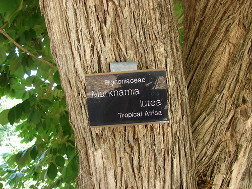 Markhamia lutea - bark | by Tatters ❀