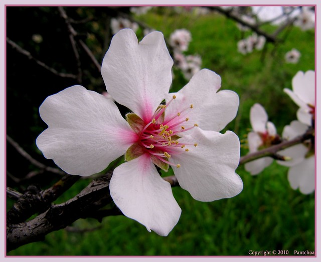 fleur d 39 amandier almond tree flower flor de almendro flickr photo sharing. Black Bedroom Furniture Sets. Home Design Ideas