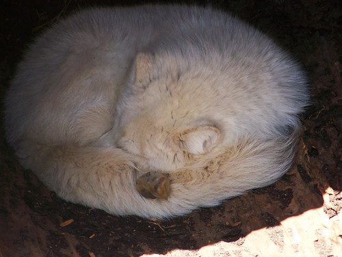 Arctic Fox Curls Up in the Shade | by Potter Park Zoo