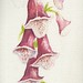 "WATERCOLOR ""Fairy foxglove"" ©"