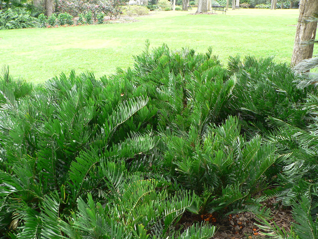 Coontie Cycads Are Easy To Grow In Full