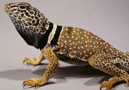 Great Basin Collared Lizard. Utah, USA. | Crotaphytus ...