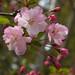 Crab Apple Blossom (Kaidou)