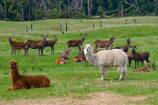 Llama, deer | by mezzoblue