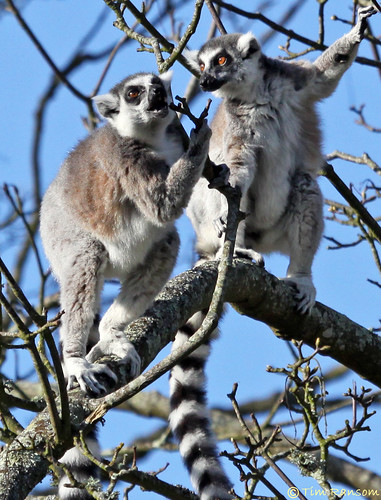 Ring-tailed Lemur | by timz501