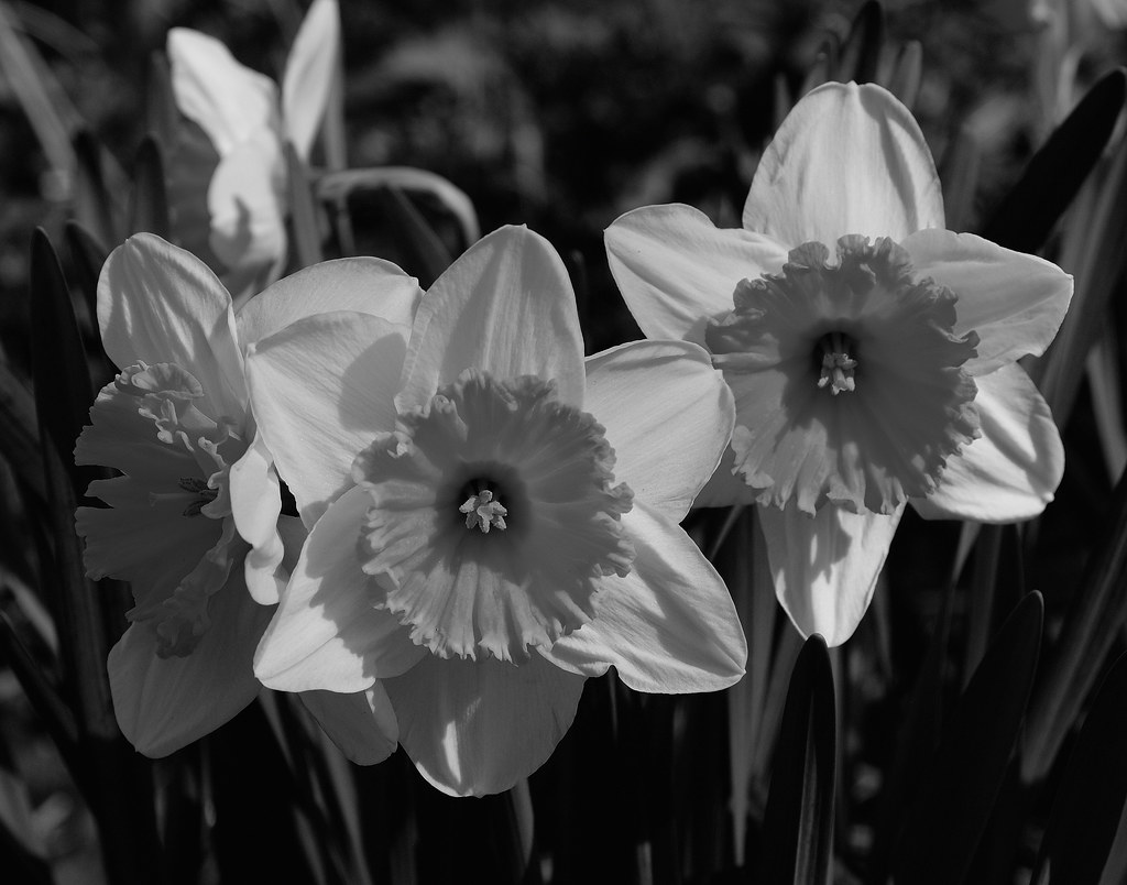 Daffodils in black and white | Close-up of daffodils in ...