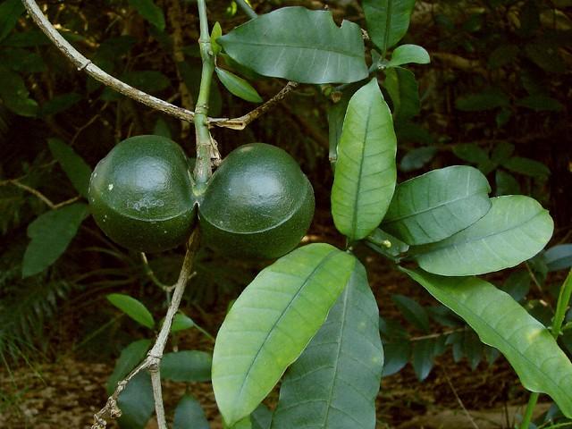 Fruit Of Pinwheel Jasmine Tabernaemontana Ventricosa