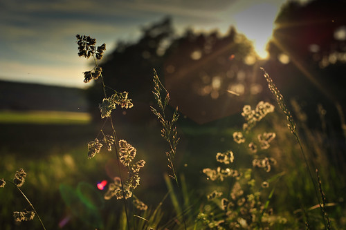Golden Hour Grass | by goingslowly