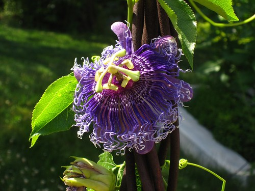 Passion Flower | by Brooklyn Botanic Garden