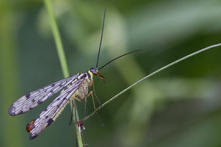 Scorpion fly (Panorpa communis) | by Roland Bogush