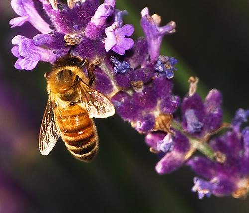 Honey bee on lavender flower | by Steve A Johnson