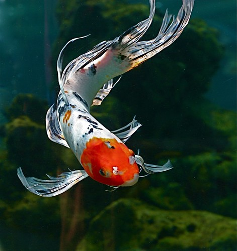 Fantail goldfish chi liu flickr for Koi fish tail