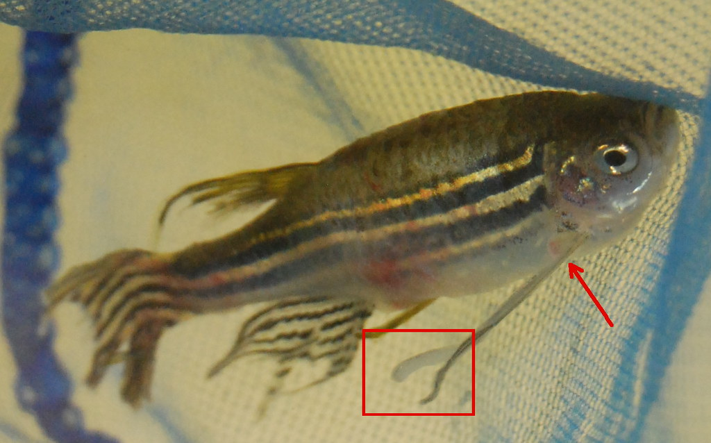 Parasite on danio marked zebra danio with parasites for Worms in fish tank